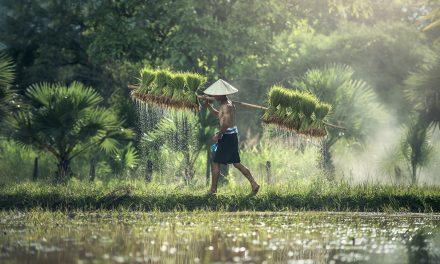 En berättelse om ris
